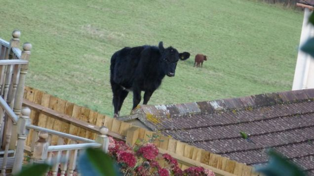 A Cow jumps six feet onto owner's roof thumbnail