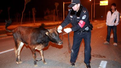 Police 'handcuff' bull thumbnail